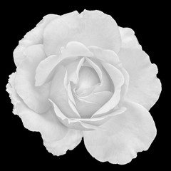 Fine art still life monochrome black and white flower top view macro portrait photo of a wide open blooming rose blossom with detailed texture on black background