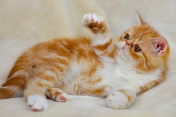 Little kitten exotic breed color red marble lying on the couch