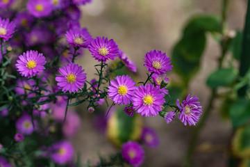 紫色の小菊