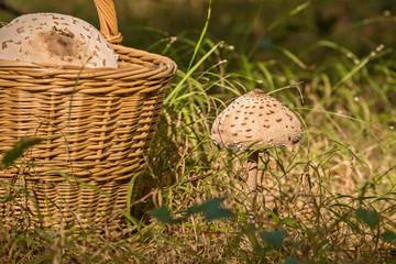wicker basket full of mushrooms and growing mushrooms