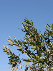 Mediterranean olive tree branches with ripe olives and green leaves against the blue sky . Tuscany, Italy