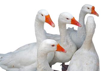 Beautiful white geese on white
