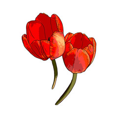 Vector isolated Red Tulips