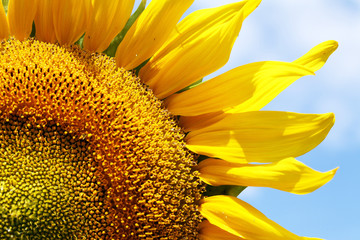 close view of a blooming golden sunflower