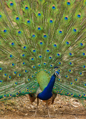 Peacock dancing with open feathers
