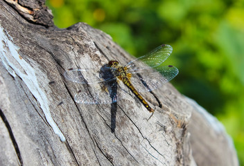 A beautiful dragonfly sits on a tree trunk