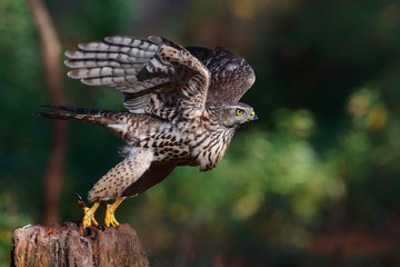 Take off of a juvenile northern goshawk in the forest in the Netherlands Fotoväggar