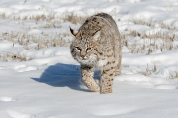 Wall Mural - Lynx Hunting in Winter