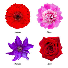 Set of isolated flowers: red gerbera, pink peony, purple clematis, red rose.