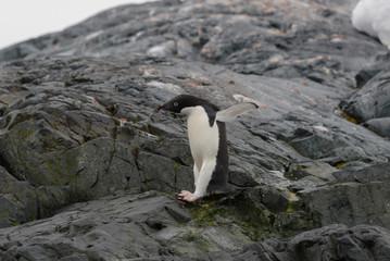 Adelie penguin on beach