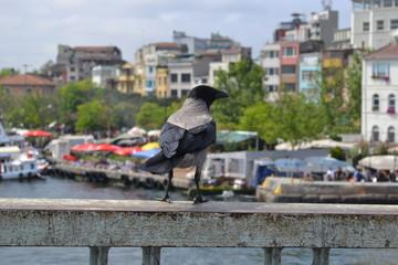 raven on bridge