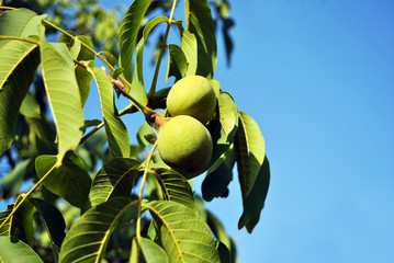 Couple green walnuts and leaves on tree, branch close up on bright blue sunny sky background