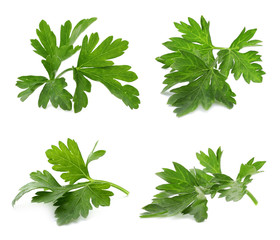 Set of fresh green parsley leaves on white background