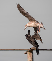 Phalacrocorax carbo fighting with a Larus argentatus for the landing and rest zone.