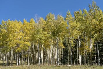 Golden Aspen Stand Against Bright Blue SKy