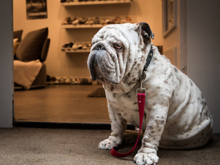 Bulldog sitting on a doorstep of a shop