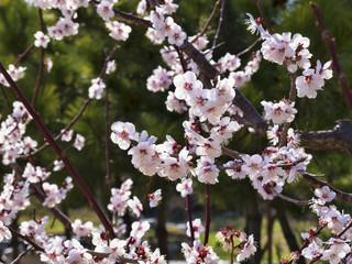 Cherry blossoms or Sakura flowers in the spring season, South Korea