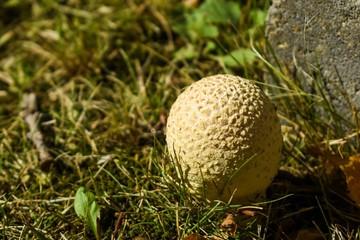Shaggy parasol mushroom in the grass.