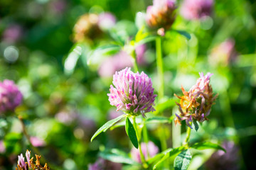 Blooming clover (Trifolium pratense) in the garden. Selective focus.