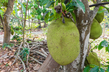 jackfruit on tree in the garden.