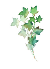Ivy green branch watercolor in hand drawn style as design element isolated on white background