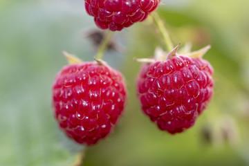 two ripe raspberries