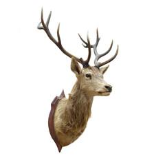 Stuffed deer head.