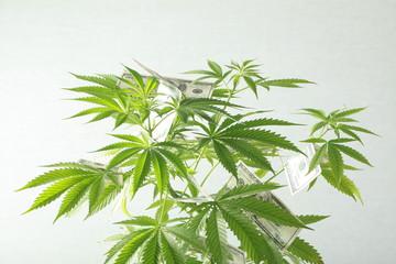 US dollars on the cannabis plant. legalization and propagation of marijuana. world addiction problems