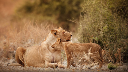 Group of lions and cubs in beautiful light. Wild animals in the nature habitat. African wildlife. This is Africa. Lions pride. Lion King. Panthera leo.