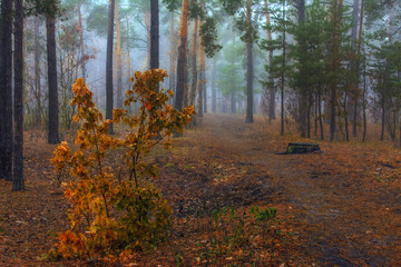 walk in the forest. autumn fogs, autumn colors, autumn mood.