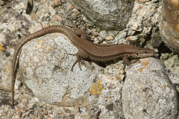 A stunning Wall Lizard (Podarcis muralis) warming up in the sun on a wall.
