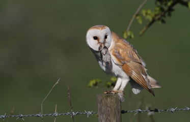 A stunning Barn Owl (Tyto alba) with a Common shrew (Sorex araneus) in its beak which it has just caught and is about to eat. Fototapete