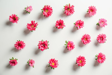 Beautiful chrysanthemum flowers on white background