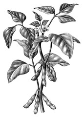 Soy branch botanical hand draw vintage clip art isolated on white background