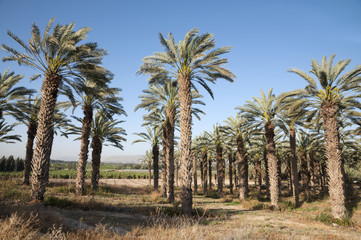 Palm trees in The Jordan Valley