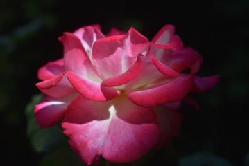 Petals Fleurs Rose Nature Macro