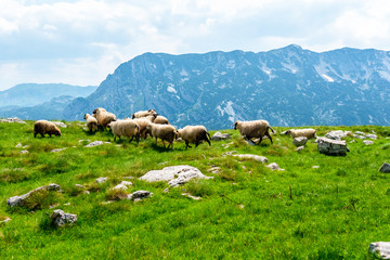 flock of sheep grazing on valley with mountain range on background in Durmitor massif, Montenegro