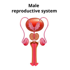 Vector illustration of Male reproductive system anatomy.