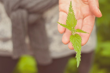 A woman is holding a nettle on her hand: ecological, healthy and nutritious wild food straight from the nature in Finland