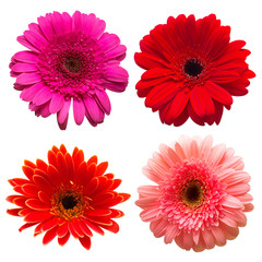 Collection of flower gerbera isolated on white background. Beautiful floral composition pattern, object. Flat lay, top view