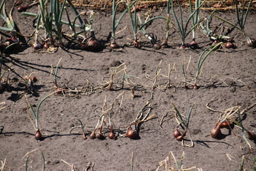 onions on a field in Oldebroek which are dryed out due to dry summer of 2018 in the Netherlands.