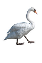 isolated cute swan on white background