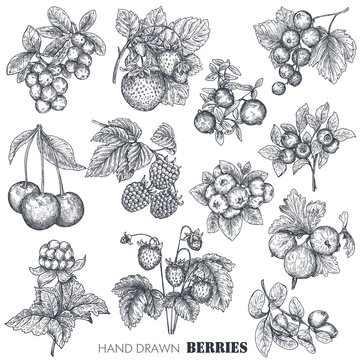 Vector collection of hand drawn sketched berries isolated on white background.