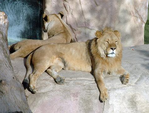 löwenpärchen Löwe Löwin Löwen paar sonnen