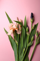 Iris blooms on pink background