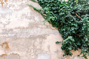 Obraz A background photo of an old dilapidated wabi sabi wall overgrown with ivy - fototapety do salonu