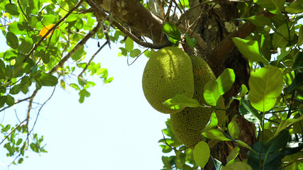 Jackfruit Tree and young Jackfruits. Tree branch full of jack fruits. Philippines,Palawan, Busuanga.