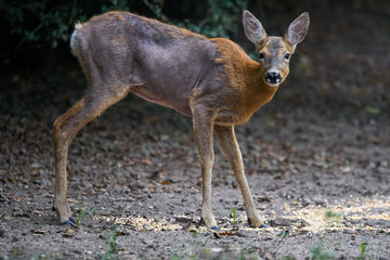 Roe deer with mange