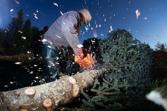 bûcheron tronçonneuse sapin arbre couper bois éclat tronçonneuse tronc noël morvan bourgogne élaguer élagueur copeau nordmann