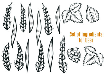 Hand drawn engraving style Hops and rye set. Common hop, rye,wheat branch with leaves and cones.Set for beer.Vector illustration